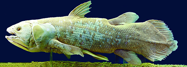 """Only eight species of lobefish remain in the sea, including the """"living fossil"""" fish, the coelacanth. During the Devonian, the ray-finned and the lobe finned bony fish chose separate destinies, with the ray finned remaining in the seas where they are today, some 30,000 species strong. The lobefish used their fleshy fins to walk on land. Fossils from the era when fish began to walk on land are as likely to be found in WNY as anywhere else on earth."""